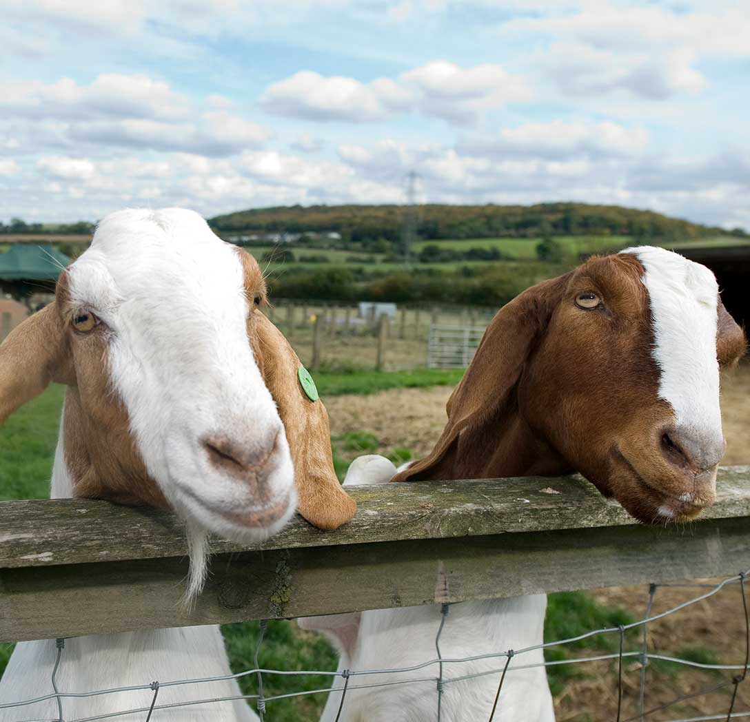 Goats saying hello