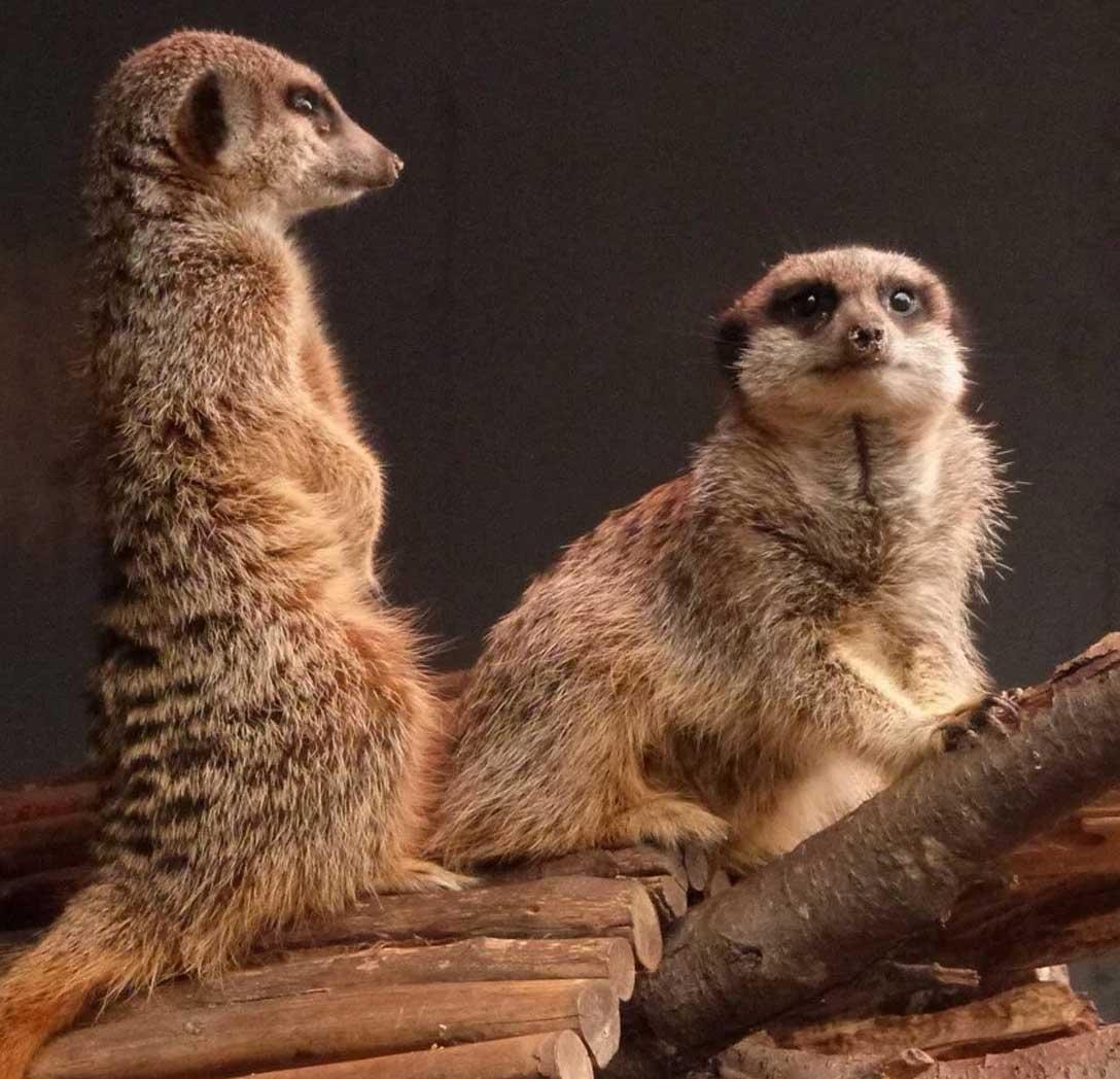 Meerkats looking around