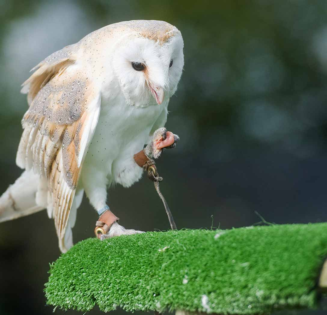 Owl inspecting it's food