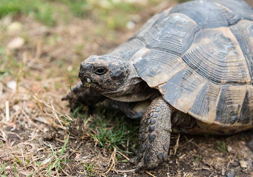 Close up an active tortoise